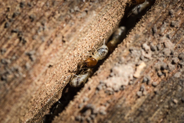 Termites Can Live In Surprising Places Such As Wood Furniture And Brick  Buildings.