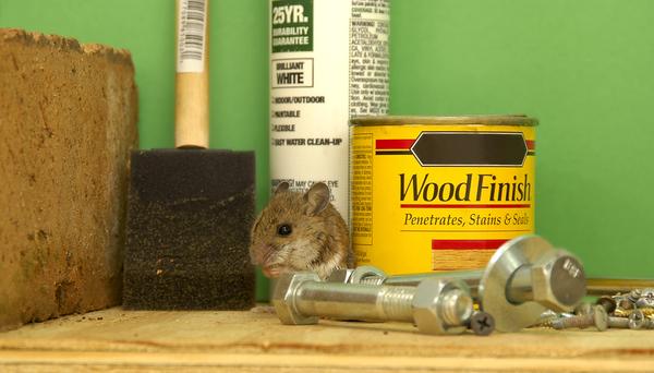 Mouse hiding on a garage shelf