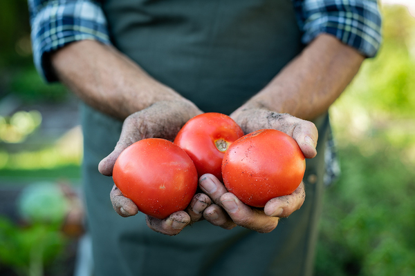 Farmer holding fresh tomatoes in his hands.