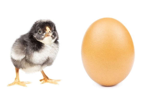 Baby chick with egg.