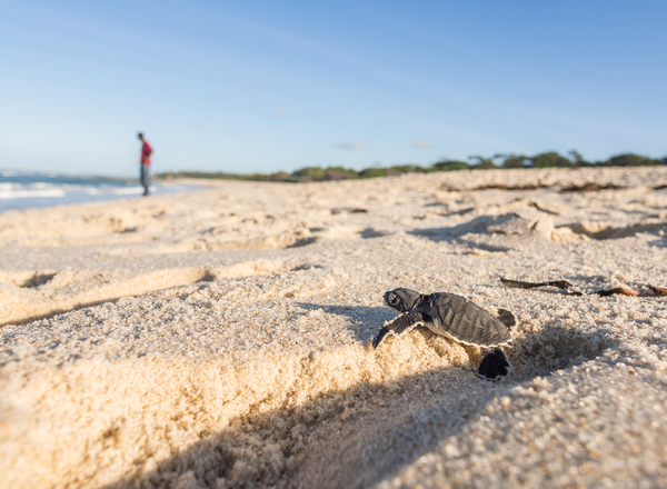 Get the facts on Florida's sea turtle population.