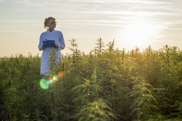 Woman standing in a field of cannabis plants.