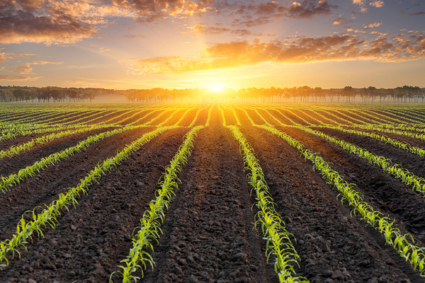 Sun rising over a field.
