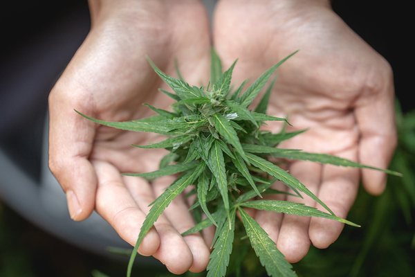 Hands creating a bowl with a cannabis plant.